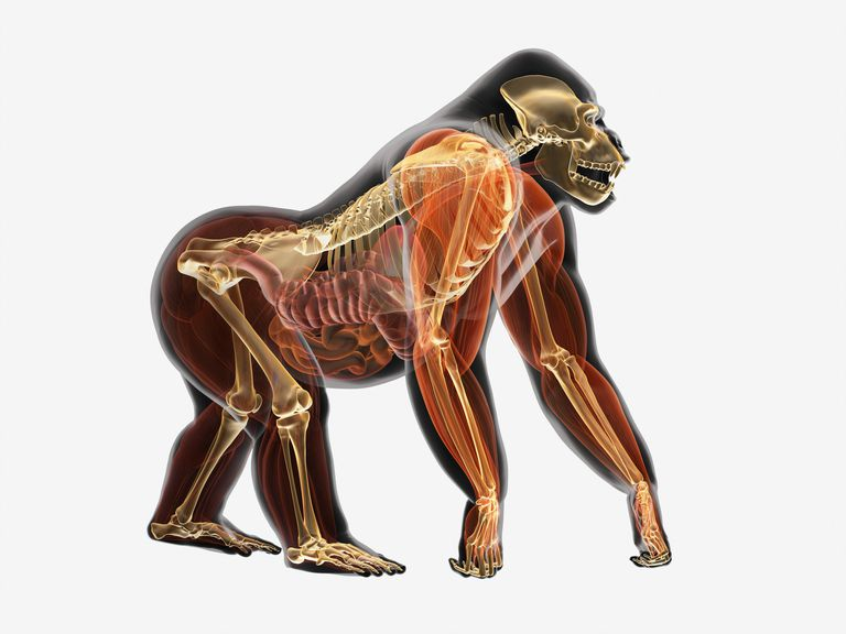 Illustration, anatomy of Gorilla (Gorilla gorilla)