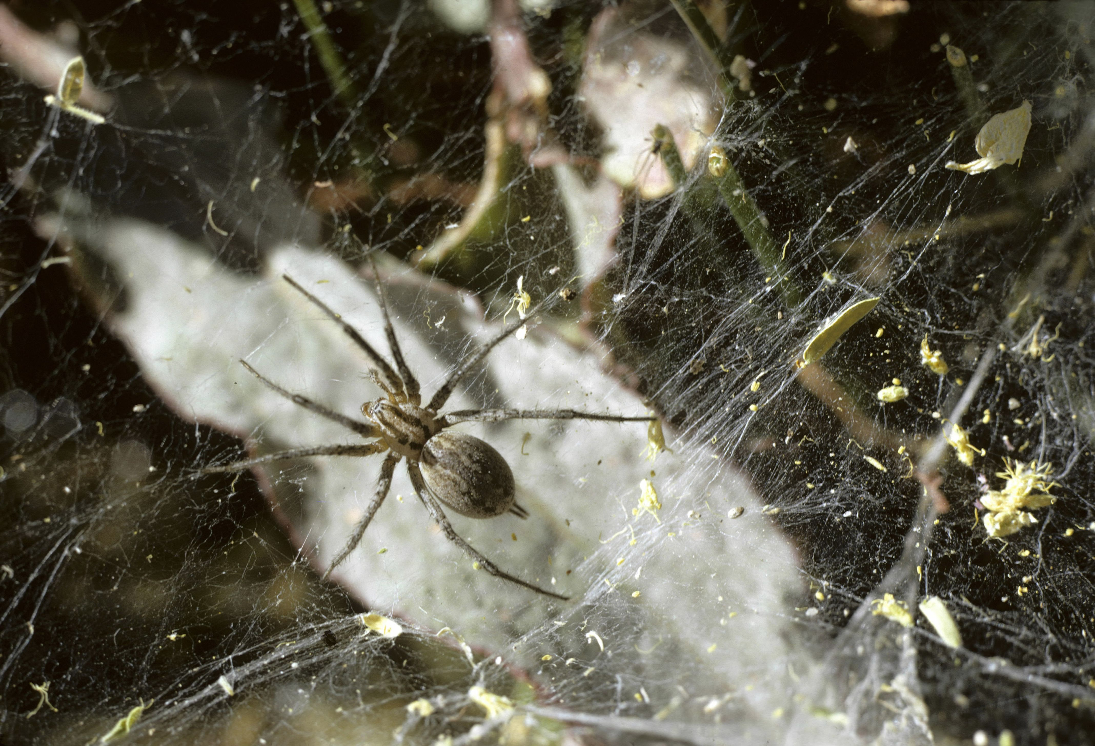 FUNNEL WEAVER SPIDER IN WEB, BASE OF ST CATALINA MOUNTAINS. TUCSON, ARIZONA. USA