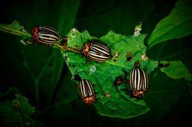 Potato beetles feeding on a leaf.