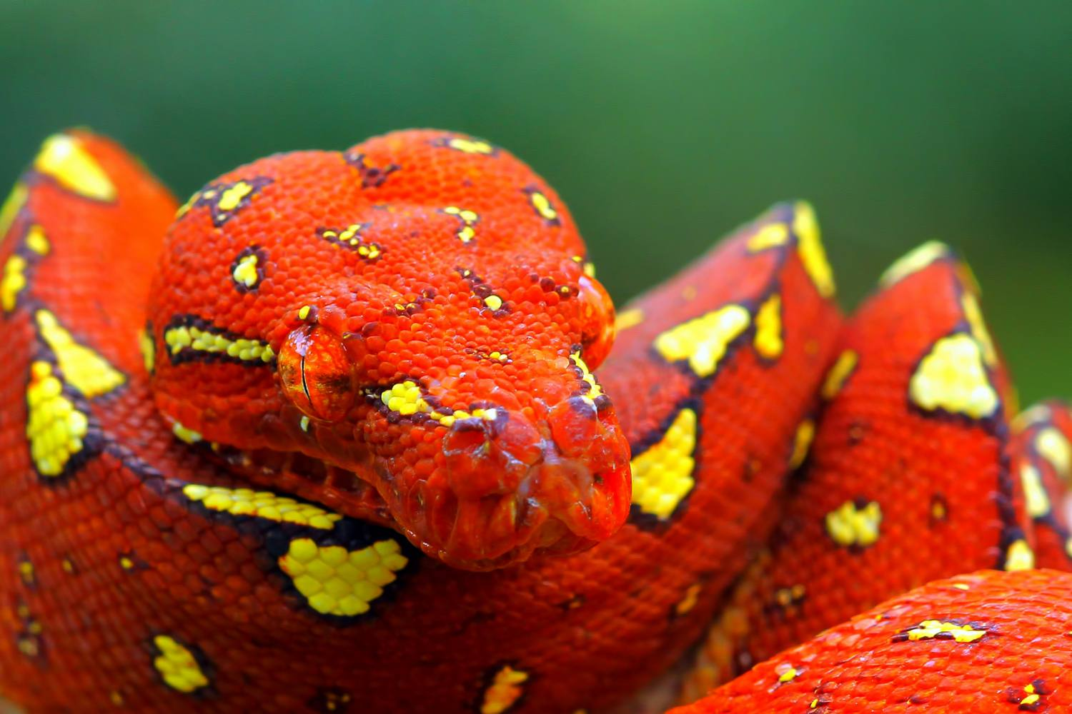Red Python Snake Coiled Indonesia Kuritafsheen Room Getty Images