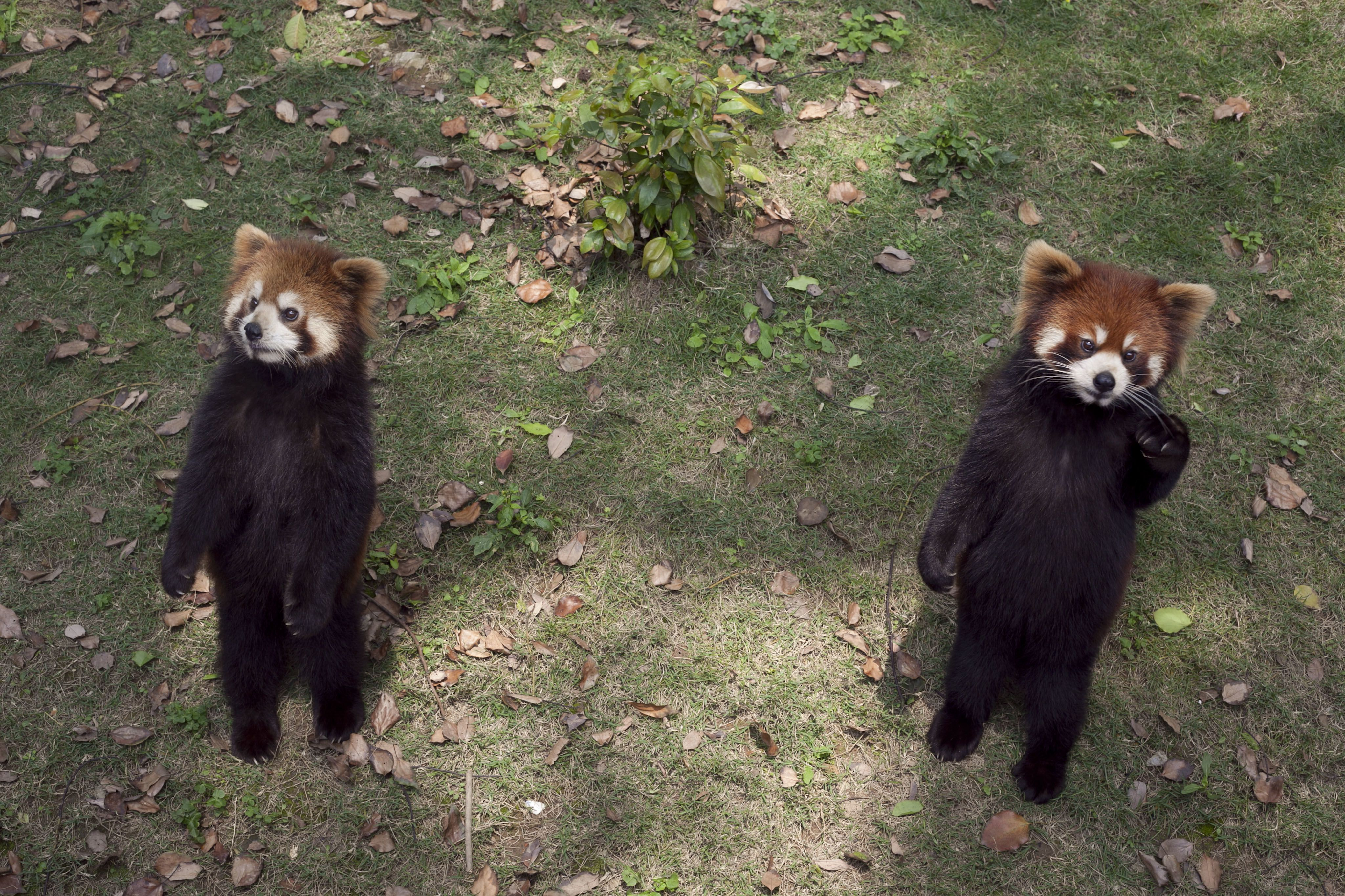A red panda standing on its hind legs and extending its claws may look cute, but it's actually a threat behavior.