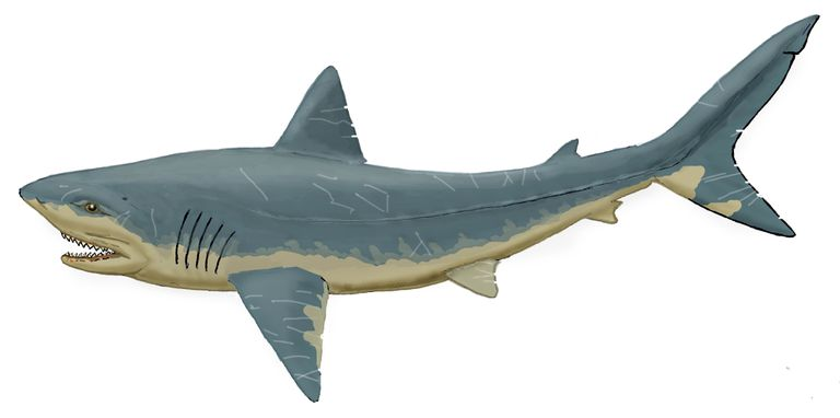 Squalicorax sp. Cretaceous lamnoid shark.