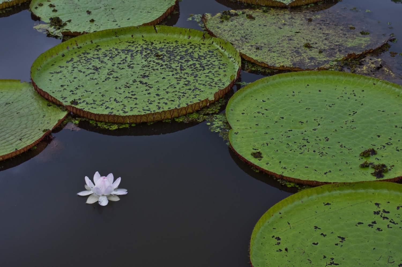 Giant Amazon Waterlily