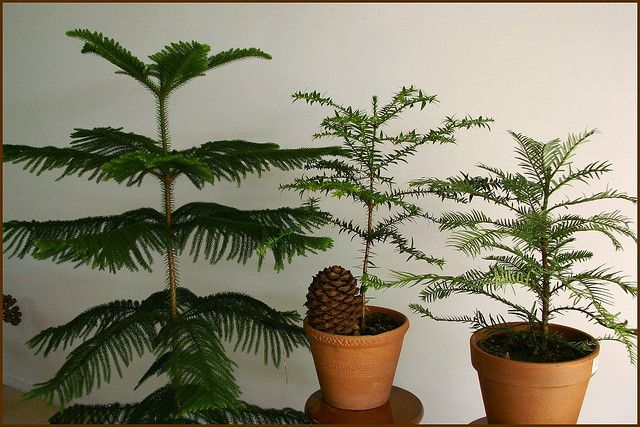 Growing And Caring For Norfolk Island Pine