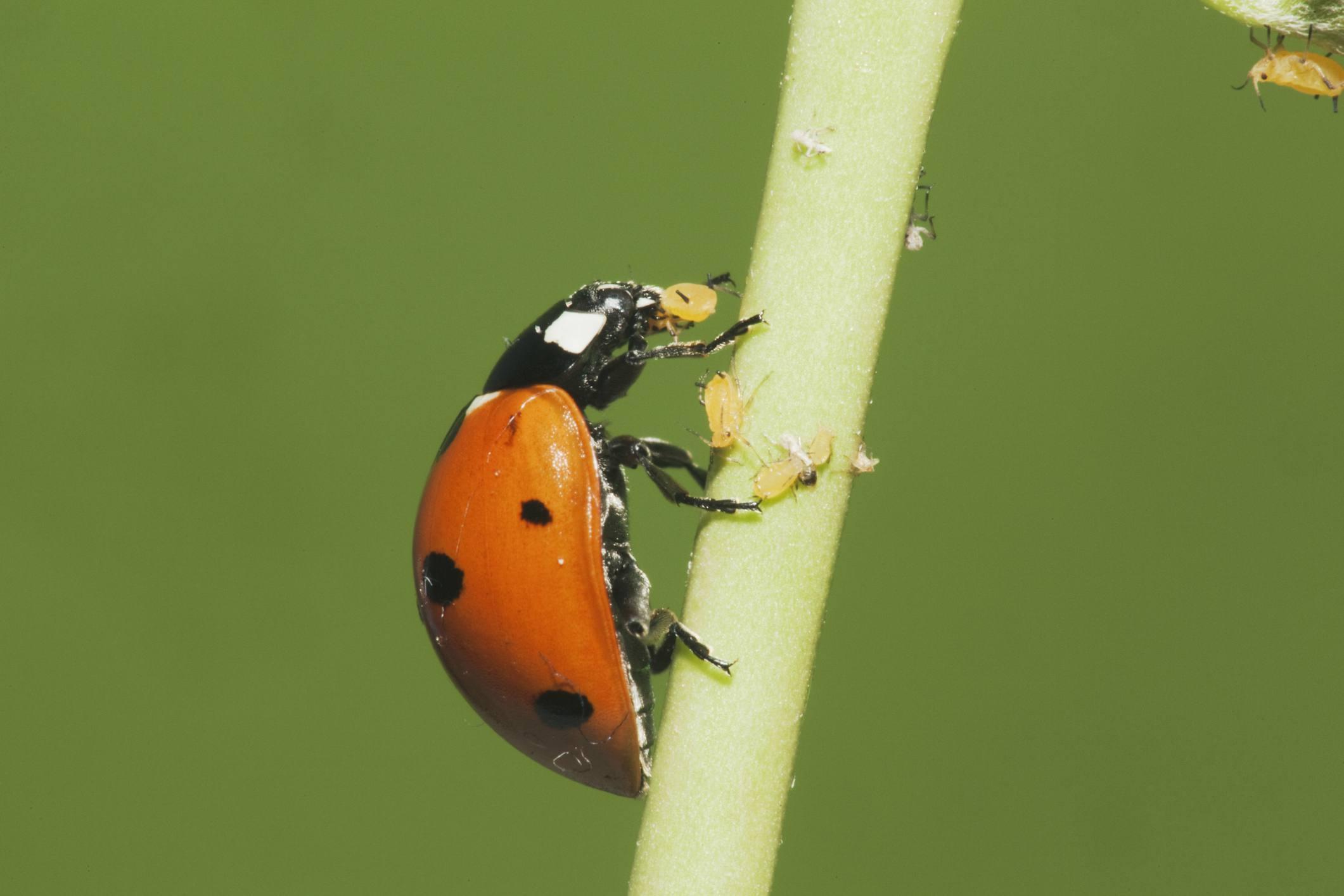 Siebenfleckiger Marienkäfer (Coccinella septempunctata), der Blattläuse isst