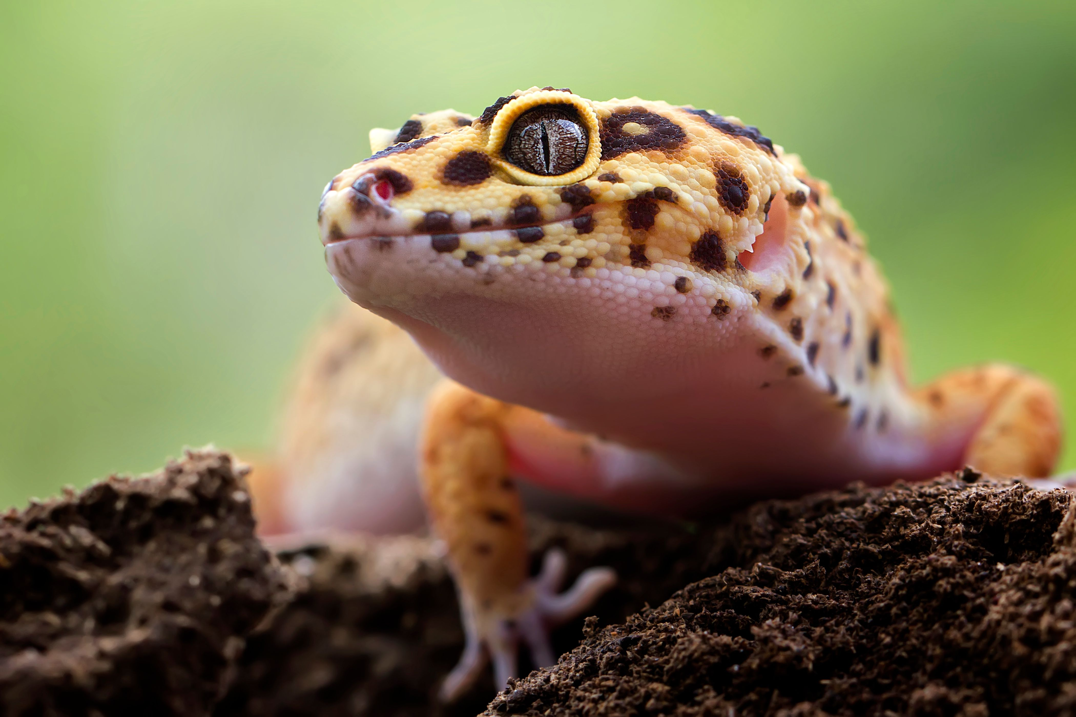 Close-up of a yellow and black spotted lizard