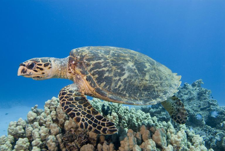 Hawksbill Sea Turtle (Eretmochelys imbricate). Red Sea.