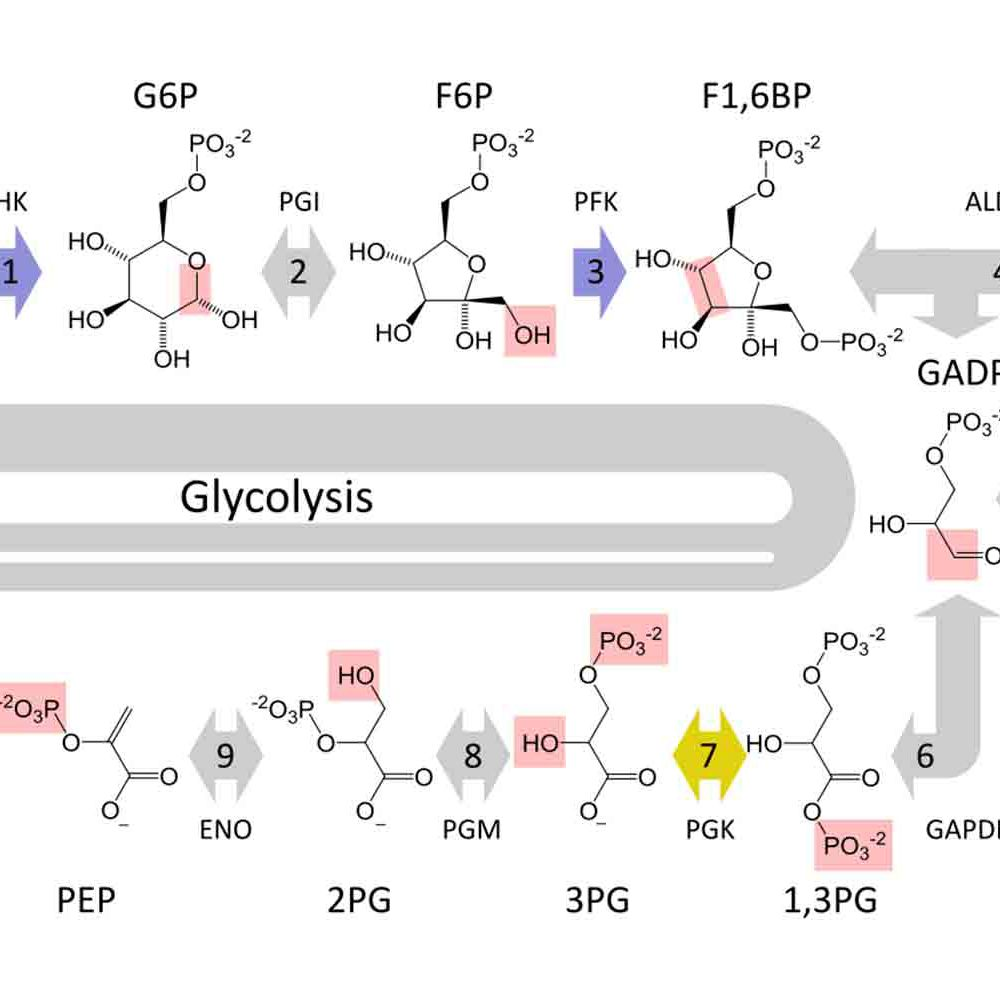 The 10 Steps of Glycolysis