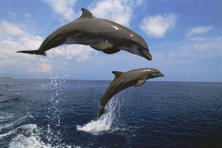 two bottlenose dolphins leaping from the water dv 598a10d5aad52b f0f4