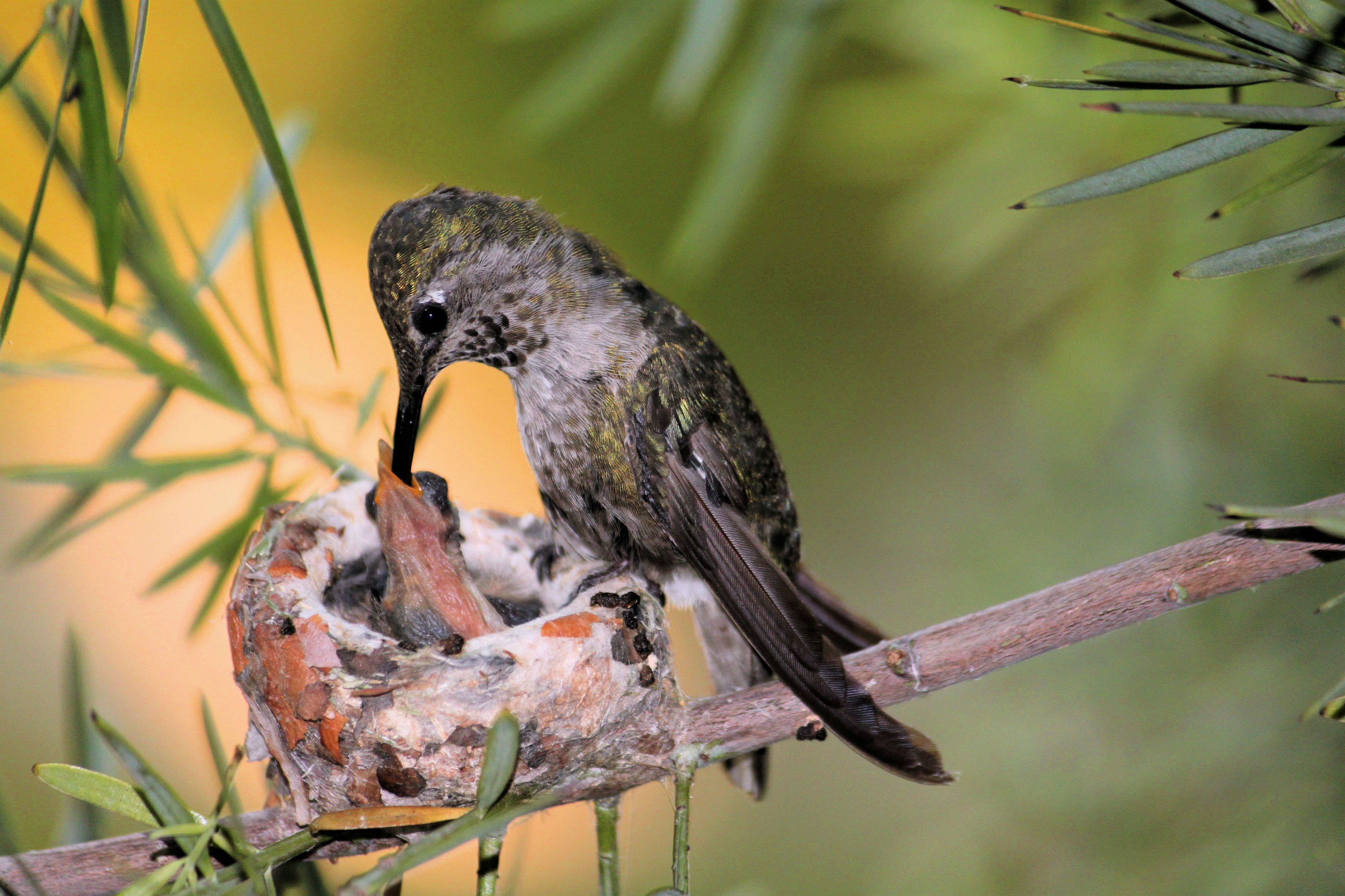 Anna's hummingbird in a nest
