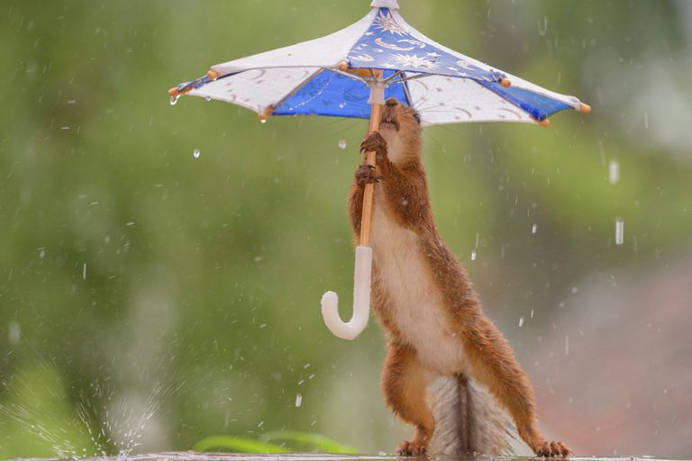 Red squirrel holding miniature umbrella during rainstorm.