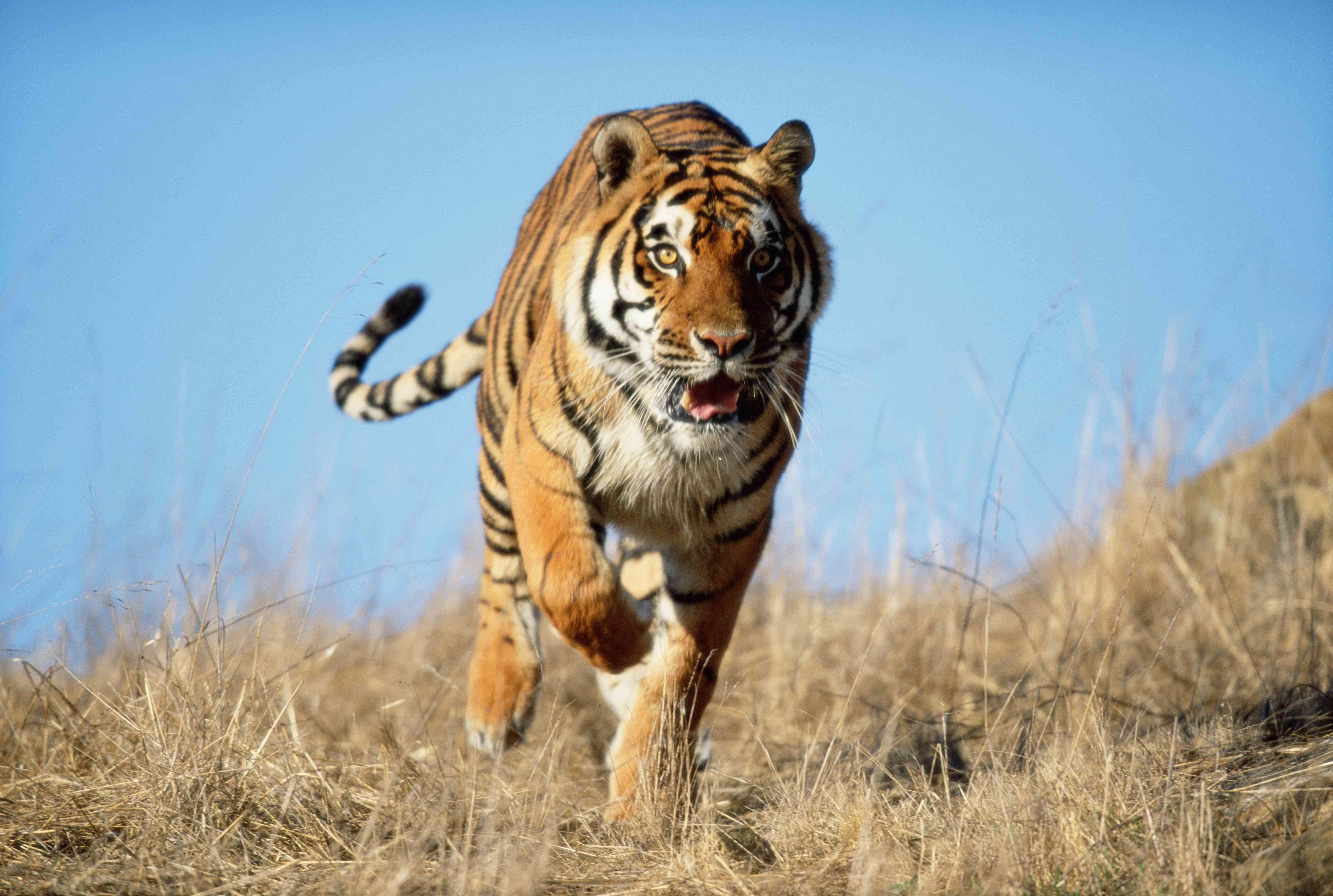 Indian tiger running on savanna