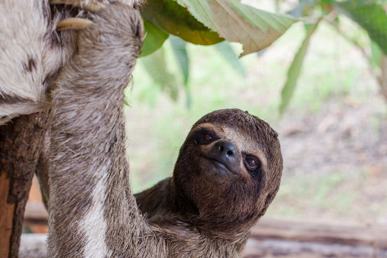 a Sloth from South America