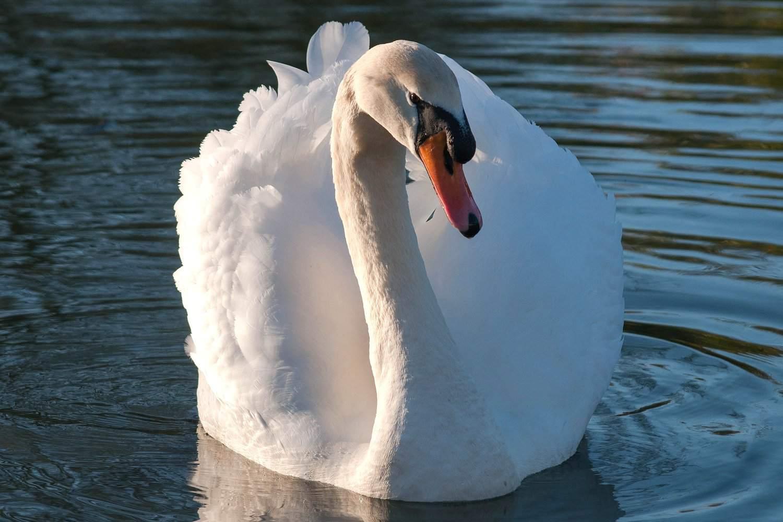 Mute Swan in a body of water