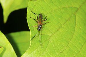 braconid wasp on a leaf