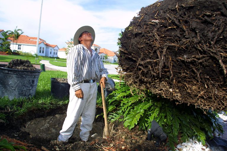 Juan Pedro transplants a palm tree June 14, 2001 in a suburban neighborhood in Pembroke Pines, Florida.