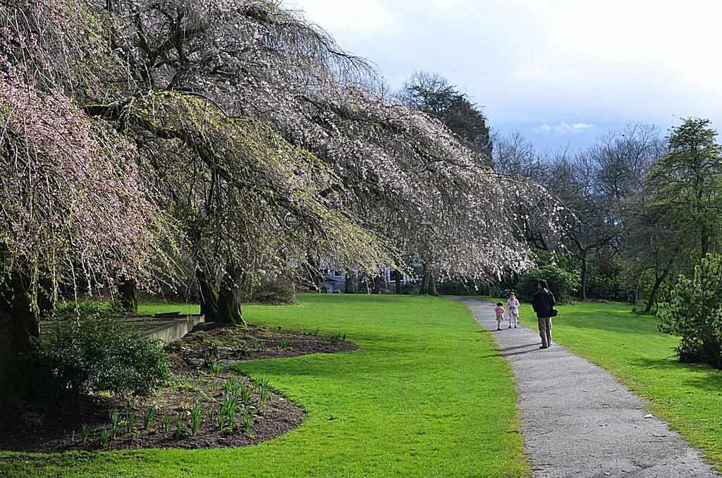 Φωτογραφία του ανθίζοντας δέντρου παράλληλα με ένα μονοπάτι στο Εθελοντικό Πάρκο του Σιάτλ