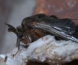 Thyridopteryx ephemeraeformis, evergreen bagworm