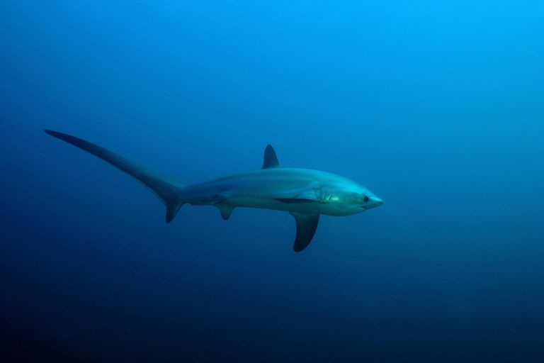 thresher shark, Alopias vulpinus, Island