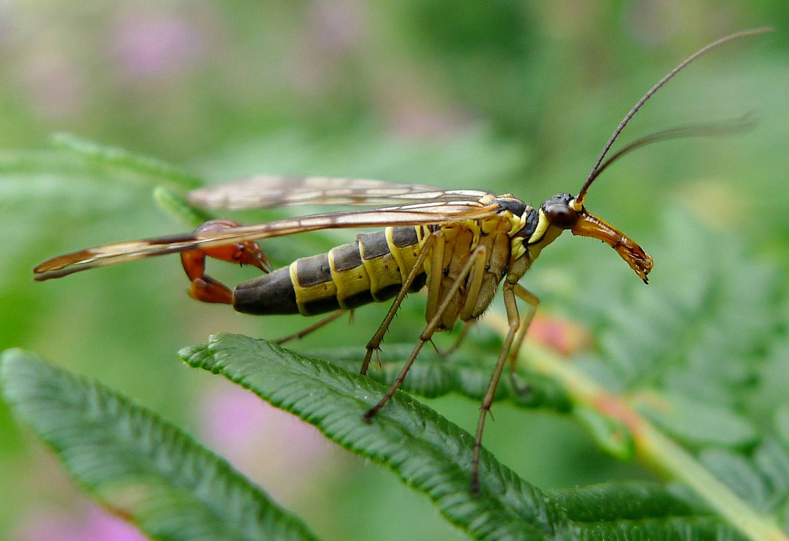 Close view of a scorpion fly sitting on a plant.