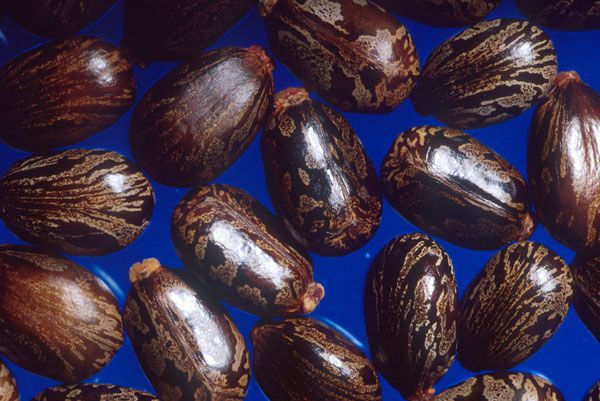 Castor beans (seeds from Ricinus communis)