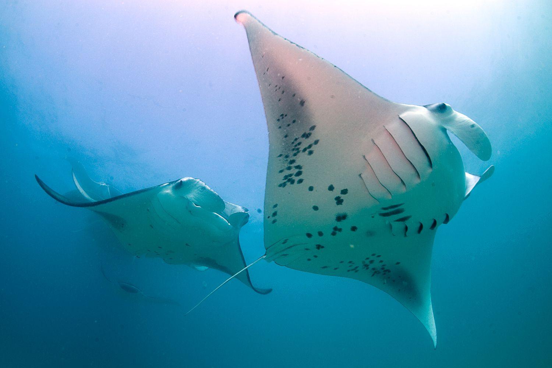 Pair of rays underwater