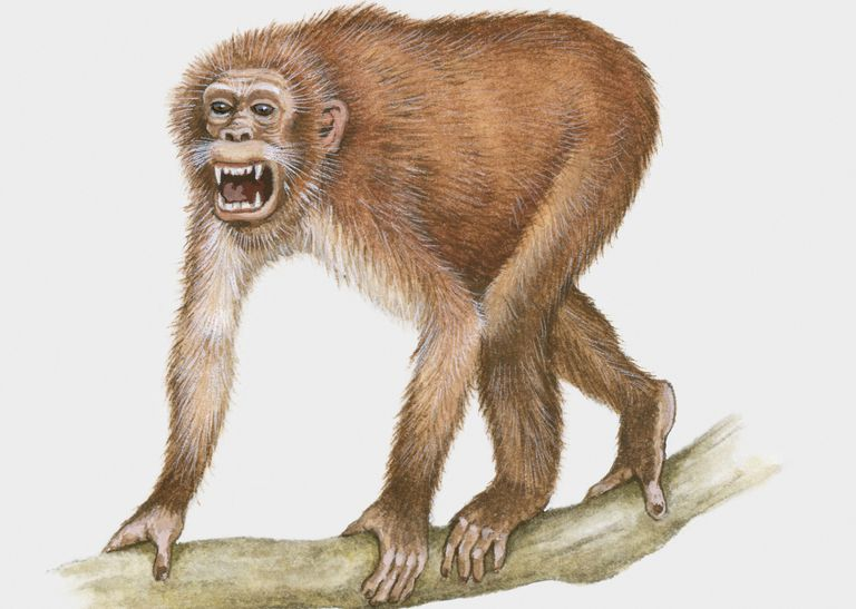 Propliopithecus illustration