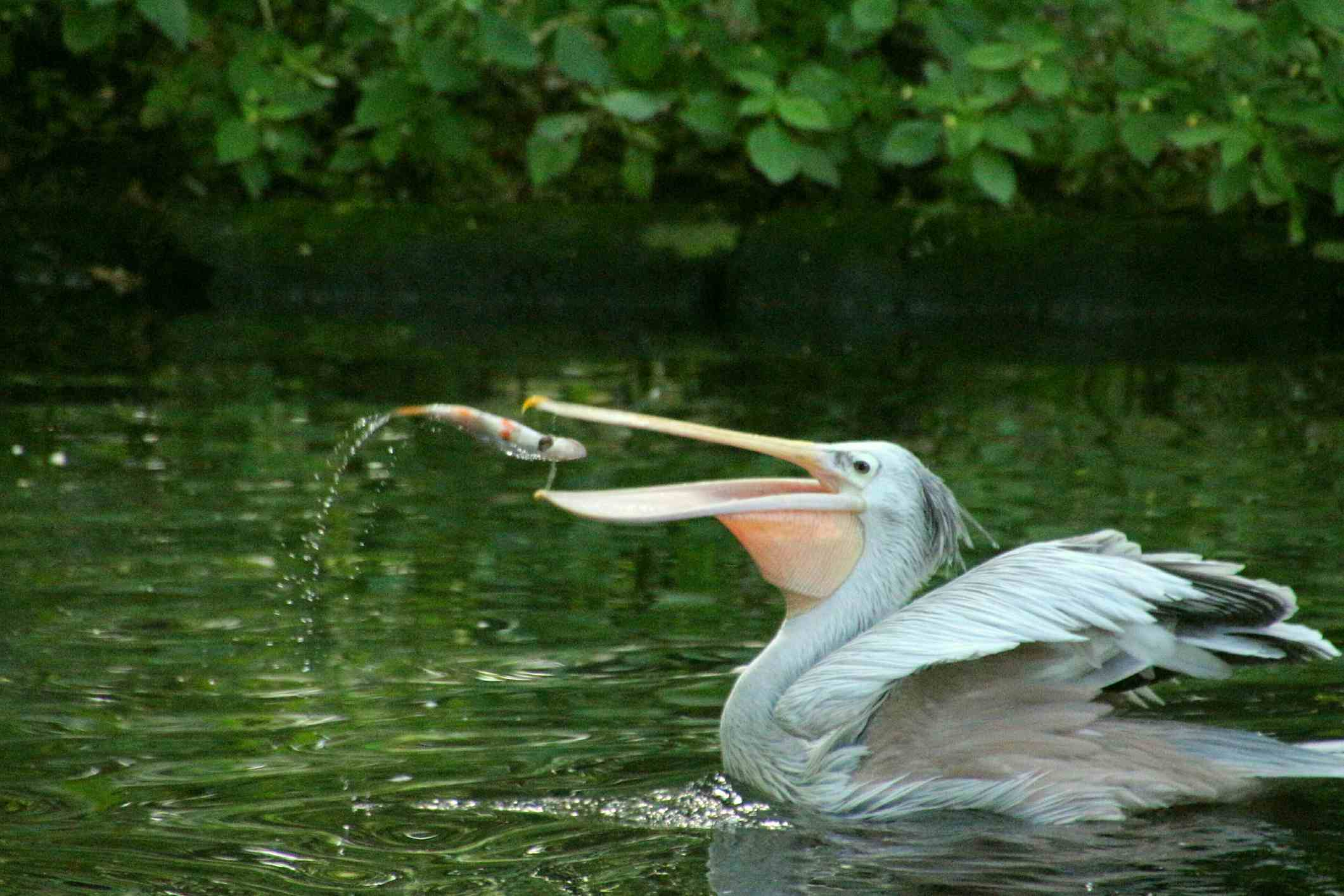 Pelican catching a fish in the water