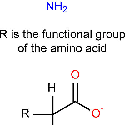 This is the general structure of an amino acid.
