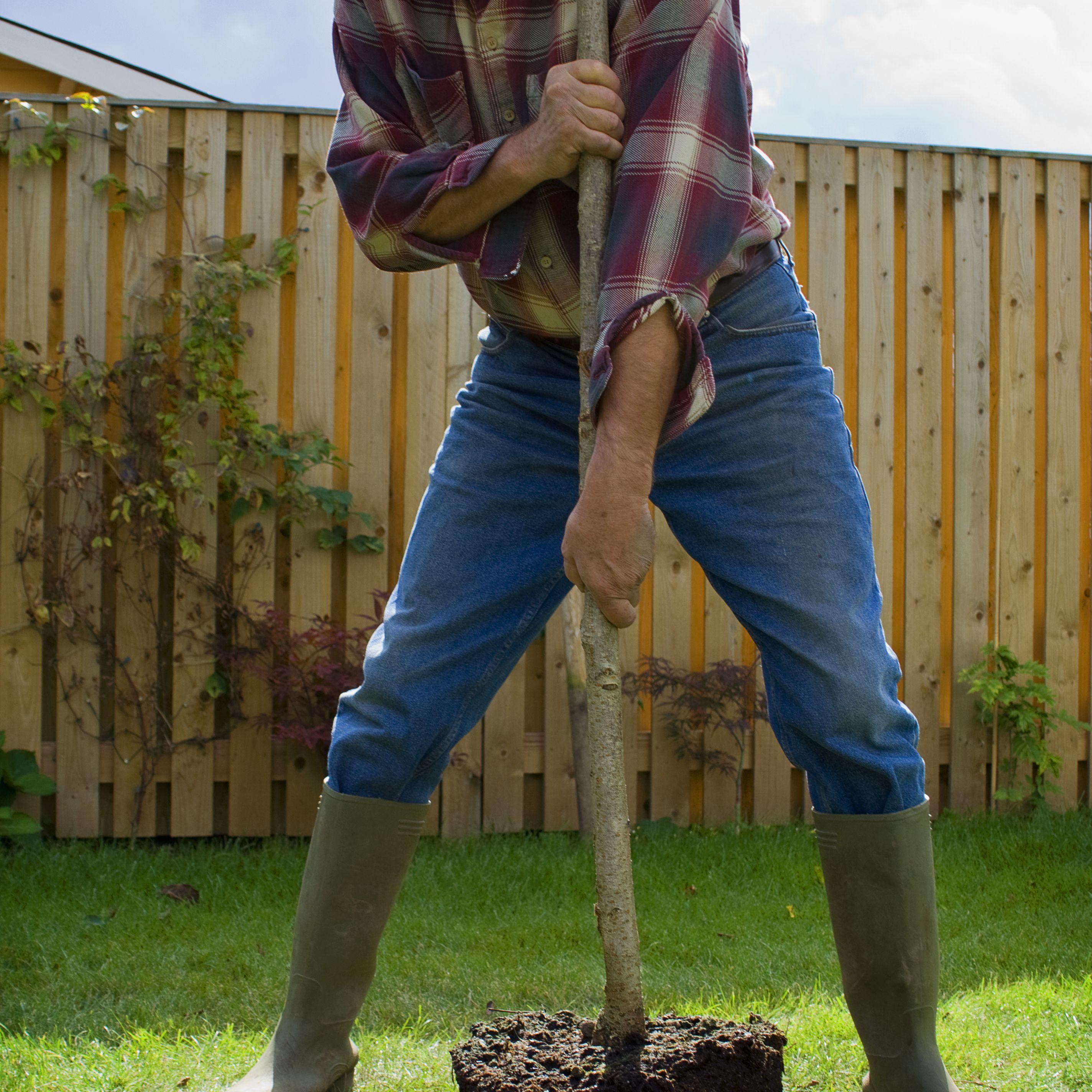 gardener transplanting young tree