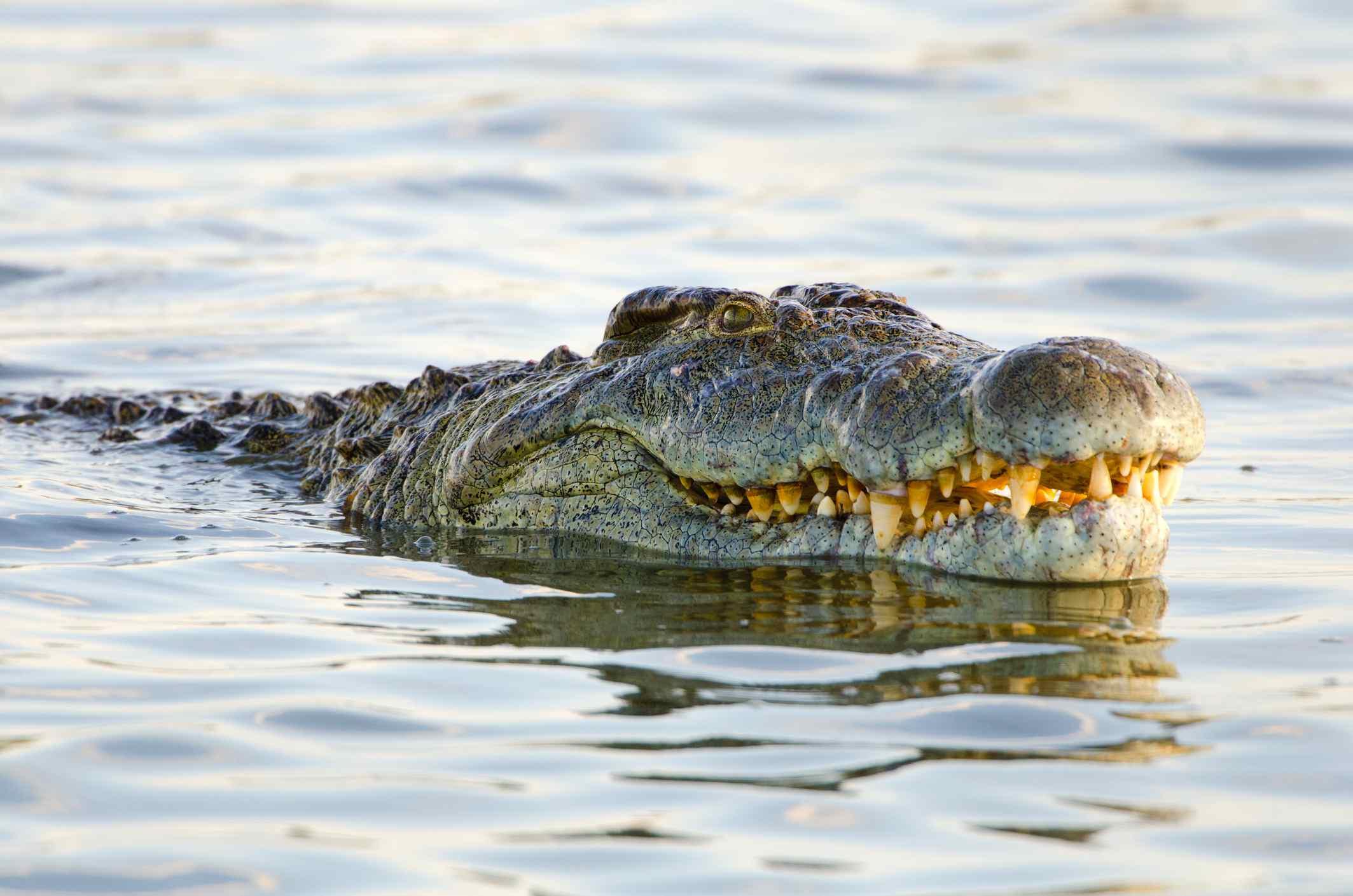 Nile Crocodile. Kruger National Park. South Africa