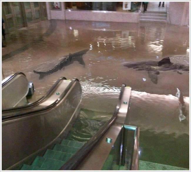 Sharks in Kuwait