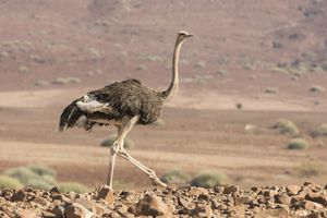 Ostrich (Struthio camelus) walking in Palmwag Conservancy, Damaraland, Namibia