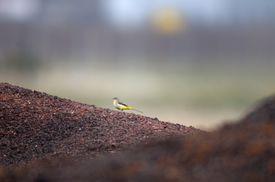 Grey Wagtail;Motacilla cinerea, walking