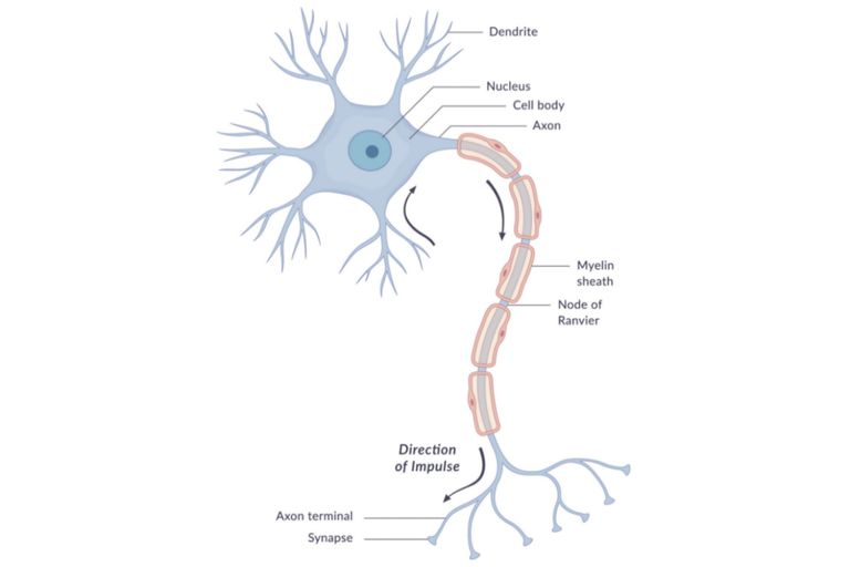 The anatomy of neurons human biology a diagram of a typical human brain cell neuron with different parts and the direction of impulse labeled wetcakegetty images ccuart
