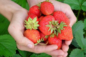 Hands holding a bunch of strawberries.
