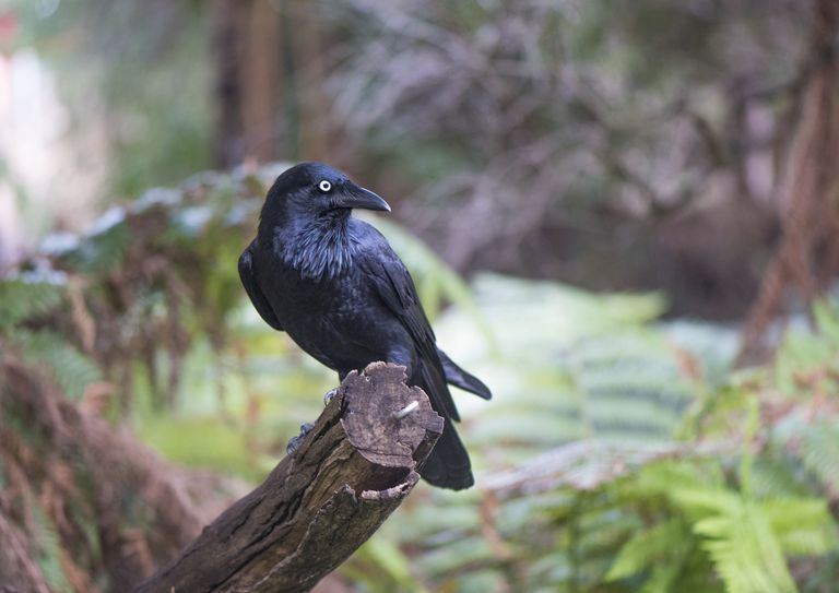 Crow And Raven Folklore Magic And Mythology