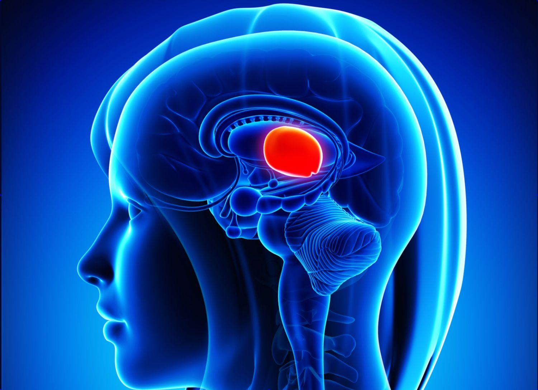 Divisions of the brain forebrain midbrain hindbrain ccuart Choice Image