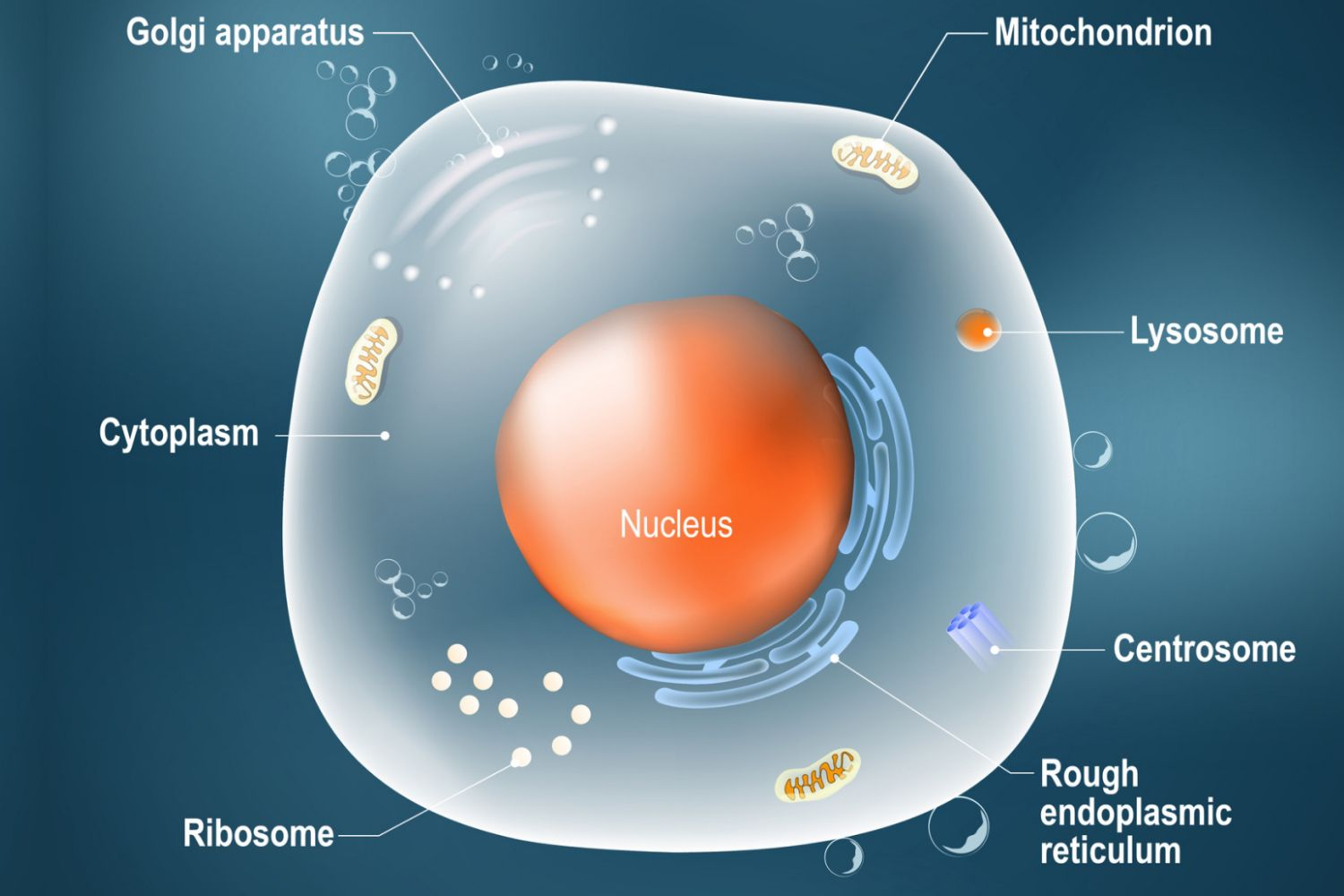 Animal Cells Are Eukaryotic Cells With a Membrane-Bound Nucleus