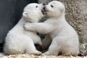 A pair of polar bear cubs play at a zoo in Germany