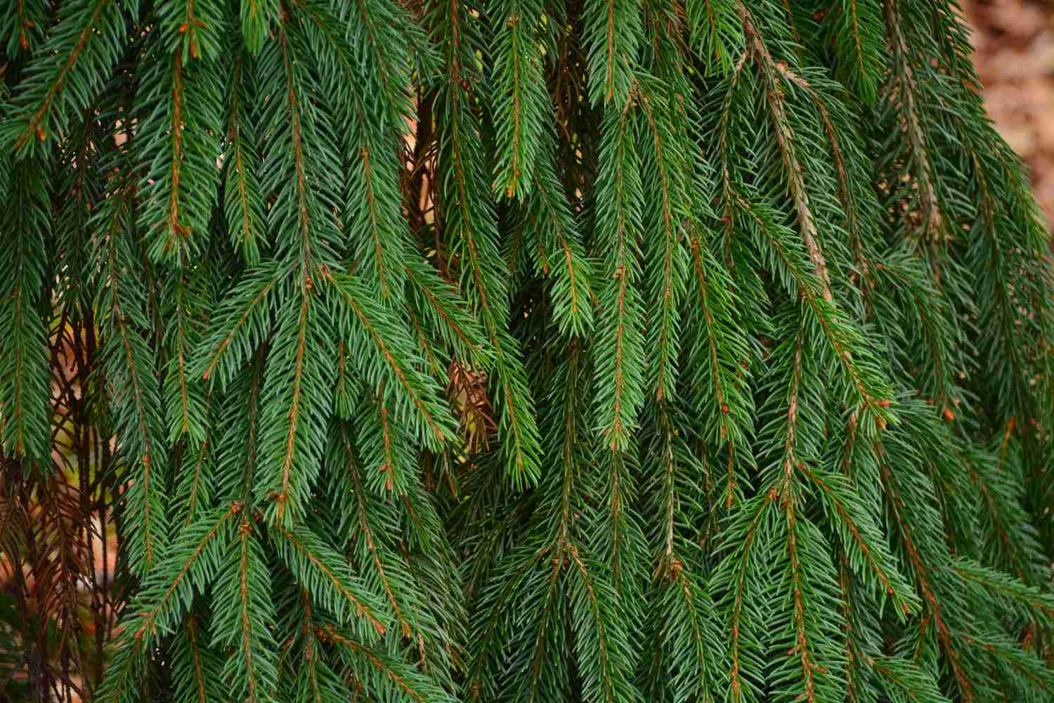13 Most Common North American Pine Species
