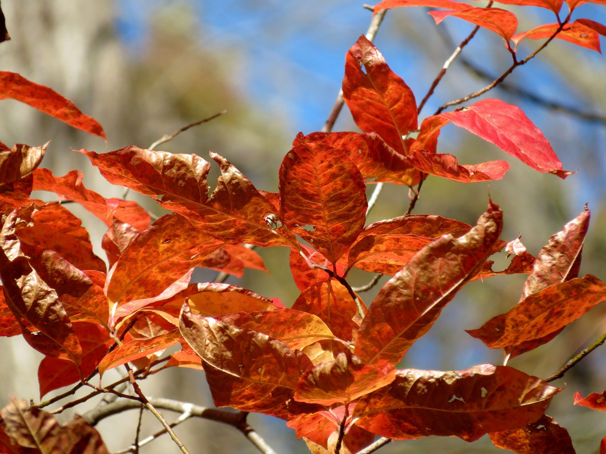 How to Manage and Identify Sourwood