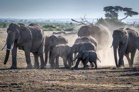 A herd of African Elephants walking
