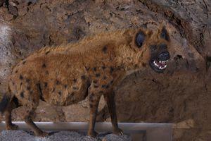 Reconstruction, Heinrichshöhle, Germany. Cave Hyena.