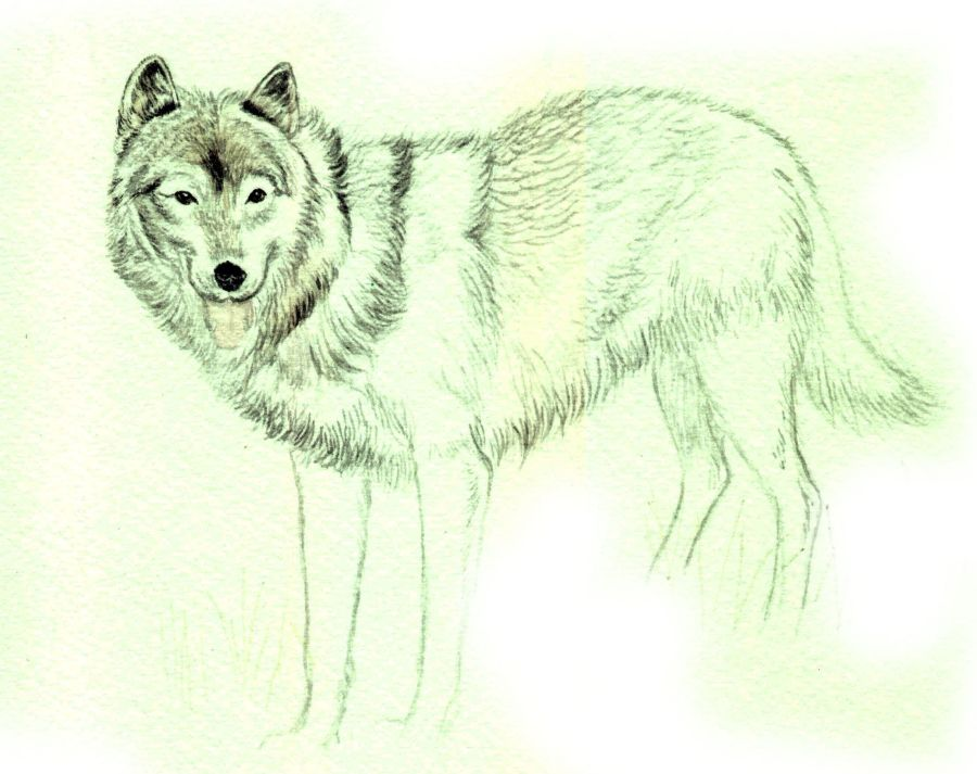 How To Draw A Wolf In Colored Pencil