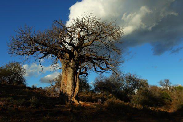 tree of life Baobab
