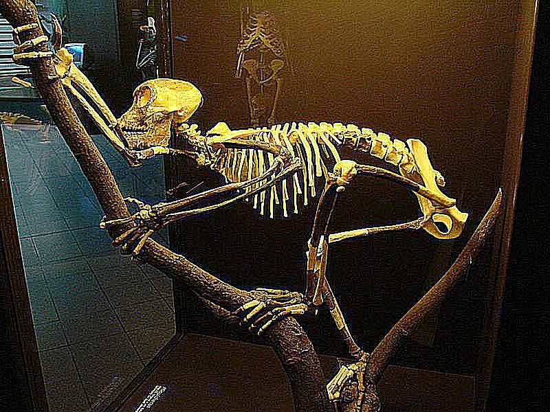 Pictures and Profiles of Prehistoric Primates