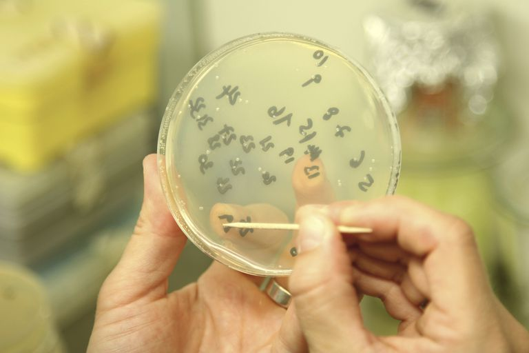 Scientist taking samples of genetically modified bacteria to analyse with PCR.