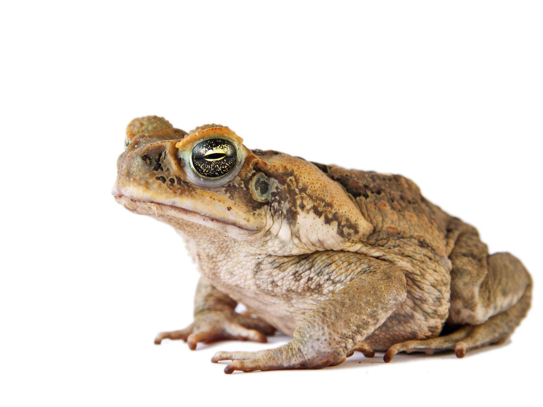 Cane Toad Facts Rhinella Marina