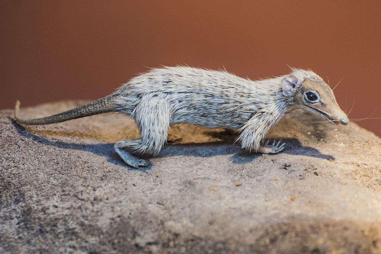 Reconstrucción de una especie de Megazostrodon, en el Museo de Historia Natural de Londres.